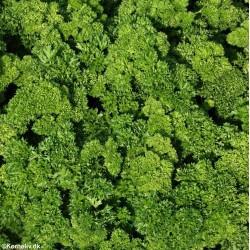 Petroselinum crispum 'Moss...