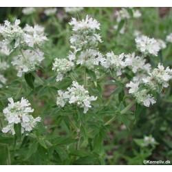 Pycnanthemum pilosum, Hairy...