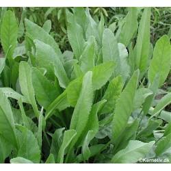 Tanacetum balsamita, Balsam