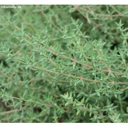 Thymus fragrantissimus,...