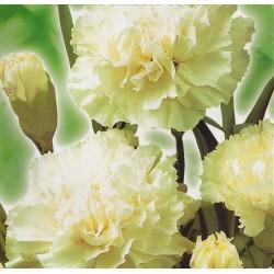 Dianthus caryophyllus...