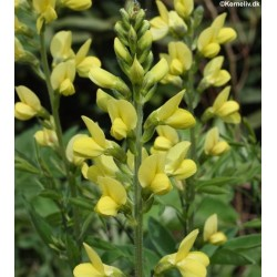 Thermopsis chinensis 'Sunrise'