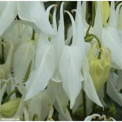 Aquilegia vulgaris 'Alba',...