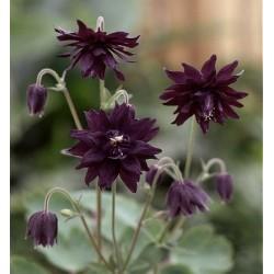Aquilegia vulgaris 'Miss...