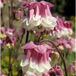 Aquilegia vulgaris 'Pink...