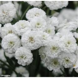 Achillea ptarmica 'Pearl',...