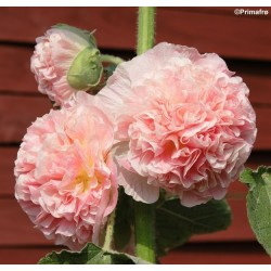 Alcea rosea 'Chaters...