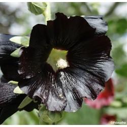 Alcea rosea v. nigra,...