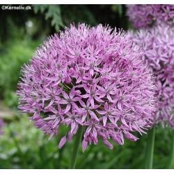 Allium aflatunense,...