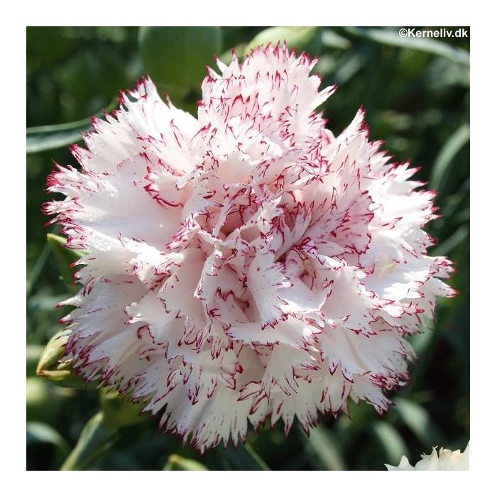 dianthus caryophyllus 39 striped 39 carnation. Black Bedroom Furniture Sets. Home Design Ideas