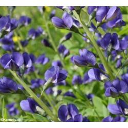 Baptisia australis, Blue...