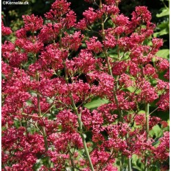 Centranthus ruber 'Mix',...