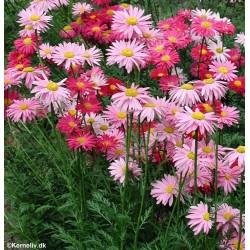 Chrysanthemum coccineum...