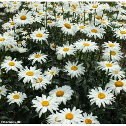 Leucanthemum x superbum...