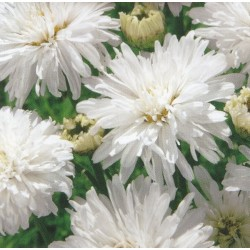 Chrysanthemum maximum fl....