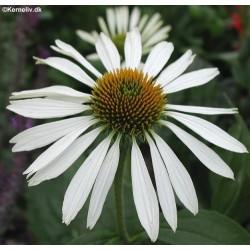 Echinacea purpurea 'Alba',...