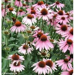 Echinacea purpurea, Purpur...